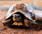 Terrestrische Schildkröte