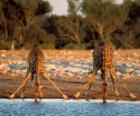 Zwei giraffen, trinken an einem Teich in der Savanne