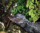 Kopf eine krokodil das in der wartezeit für ein opfer unter den pflanzen
