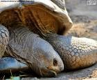Schildkröte-Kopf