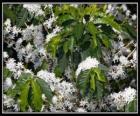 Kaffee Blume