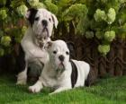 Bulldogge Welpen