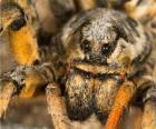Eine Vogelspinne, eine große Spinne mit langen Beinen voller Haare
