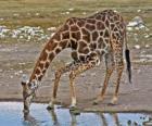 giraffen trinken an einem Teich