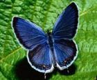 Schmetterling blau mit Flügeln weit offen
