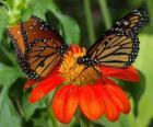 zwei wunderschöne Schmetterlinge von Angesicht zu Angesicht