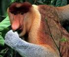 Der Nasenaffe (Nasalis larvatus) ist eine Primatenart aus der Gruppe der Schlankaffen innerhalb der Familie der Meerkatzenverwandten