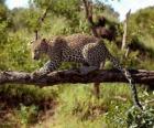 Jaguar auf einem Ast
