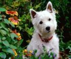 West Highland White Terrier sind eine Hunderasse of Scotland für seine Persönlichkeit bekannt und strahlendem Weiß