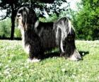 Der Tibet-Terrier ist kein Mitglied der terrier Gruppe