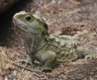Der Brückenechsen ist ein Reptil auf Neuseeland endemisch