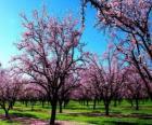 Blühende Mandelbäume Bäume im Frühling