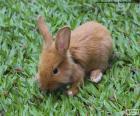 Kleine Hase