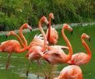Flamingos im Wasser, große Wasservögel mit rosa Gefieder