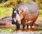 Wilde Flusspferd