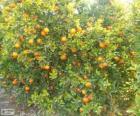 Mandarine Baum