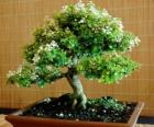 Bonsai-Baum, Miniatur-Baum in einem Fach im Anschluss an die japanische Kunst des Bonsai