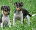 Welpen Brasilianischer Terrier