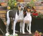 Brasilianischer Terrier