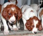 Irish Red and White Setter Welpen