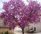 Der Gewöhnliche Judasbaum, auch kurz Judasbaum
