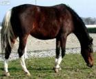 Wielkopolski Pferd mit Ursprung in Polen