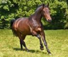 Westfale, Pferd mit Ursprung in Deutschland