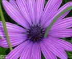 Violett Blüte