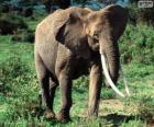 Ein Elefant mit Stoßzähne