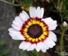 Tricolor Chrysantheme