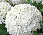 Weiße Hortensie Blumen