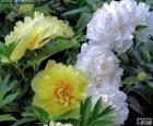 Blüten der Pfingstrose
