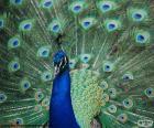 Blauer Pfau, Männchen