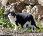 Schwarz und weiß-Katze