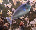 Kurznasen-Doktorfisch