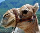 Kopf des arabischen Kamel