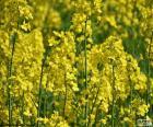Raps ist eine Pflanze mit gelben Blüten, die auf der ganzen Welt für die Herstellung von Futter, Pflanzenöl für menschlichen Verbrauch und Biodiesel angebaut wird