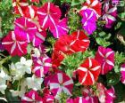 Petunien Blumen puzzle