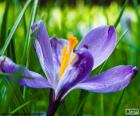 Safran Blume