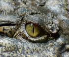 Krokodil-Auge