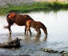 Stute und Fohlen trinken
