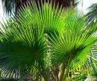 Washingtonia-Blätter