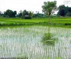 Bereich der Reis, Indonesien