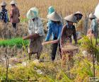 Ernte von Reis, Indonesien