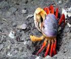 Krabben Sie mit blauen und roten Beinen