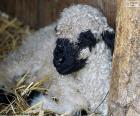 Schwarze Nase Schafe