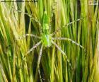 Grüne Luchs Spinne