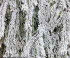 Zweige der Tanne gefrorene