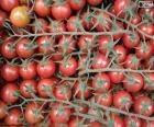 Tomaten im Zweig