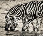 Drei Zebras Trinken